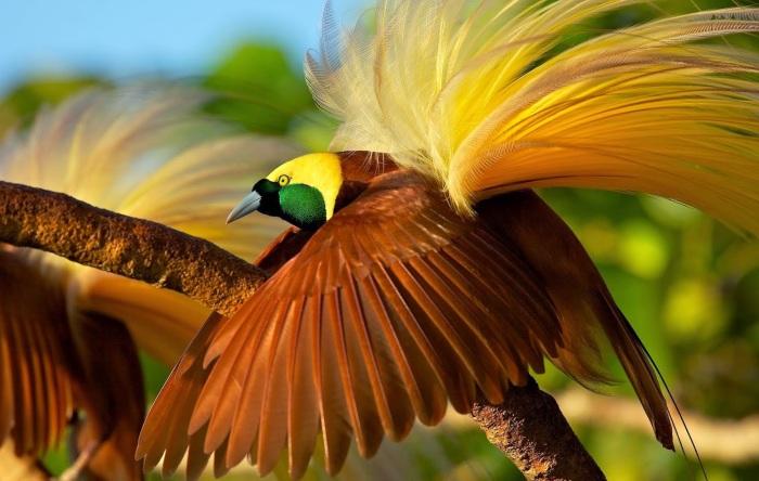 cenderawasihbirdofparadise